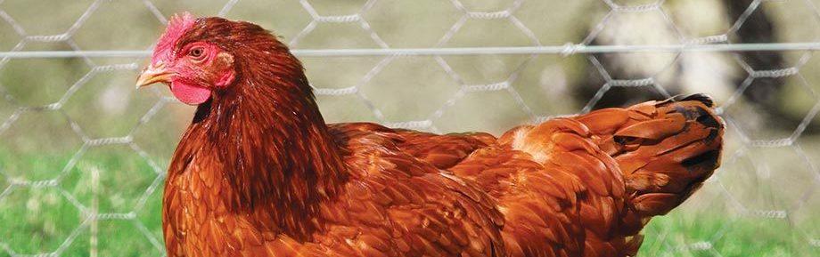 poule-pondeuse-fermiere-rousse-elevage-vente